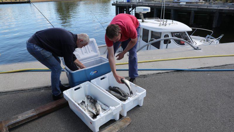 De zeebaars wordt door De Vries (rechts) met behulp van een medewerker van de visafslag van Den Helder van de koelbox overgeheveld in viskisten. Op de achtergrond de kleine TX-41. (Foto Bram Pronk)