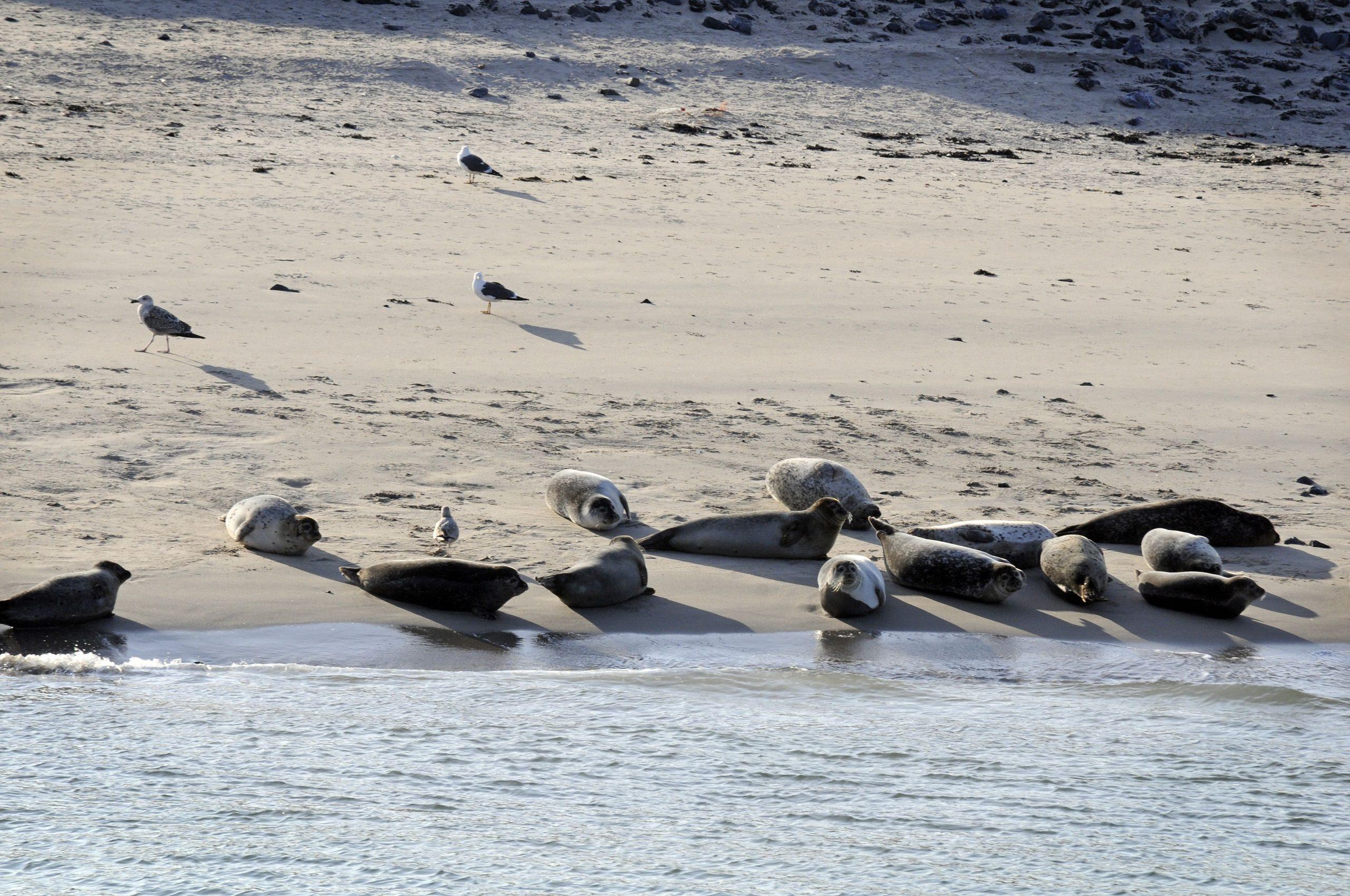 De zeehondenpopulatie bij de haven van Rotterdam. (Foto Port of Rotterdam)