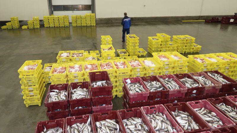 De complete vangst van de LT-43 in geelgekleurde kisten moest opnieuw gesorteerd en gewogen worden. (Foto W.M. den Heijer)