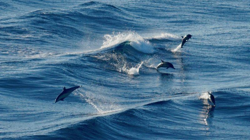 In de loop der jaren is het spel van dolfijnen veranderd.