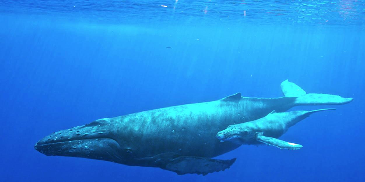 De walvis had geen kwaad in de zin toen het de man opslokte. (Foto Wikipedia)
