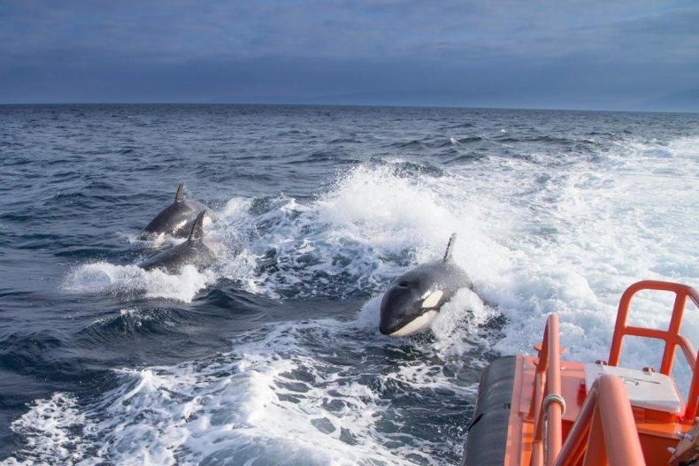 Orka's vallen de laatste jaren wel vaker vaartuigen aan. (Foto Newsweek)