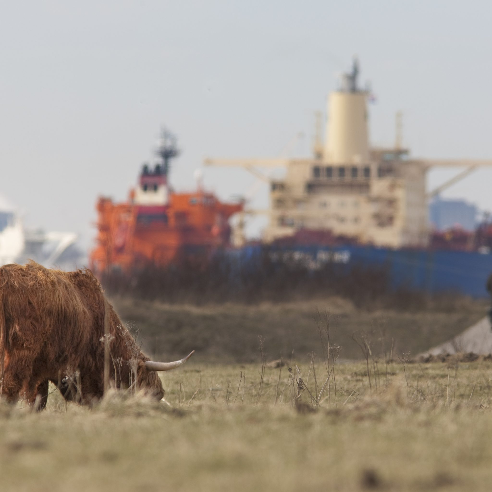 Schotse Hooglander op de Rotterdamse Landtong bij Rozenburg. (Foto Port of Rotterdam)