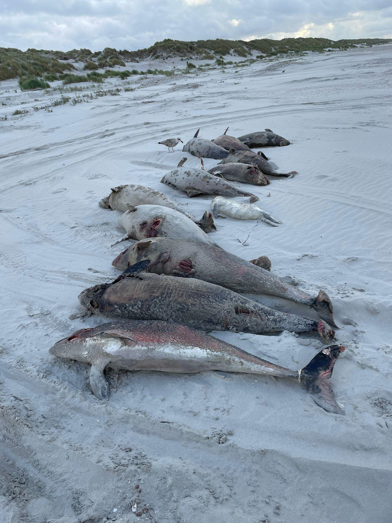 Sinds afgelopen donderdag wordt SOS Dolfijn overspoeld met meldingen over gestrande dode bruinvissen op de Waddeneilanden. (Foto Twitter / SOSDolfijn)