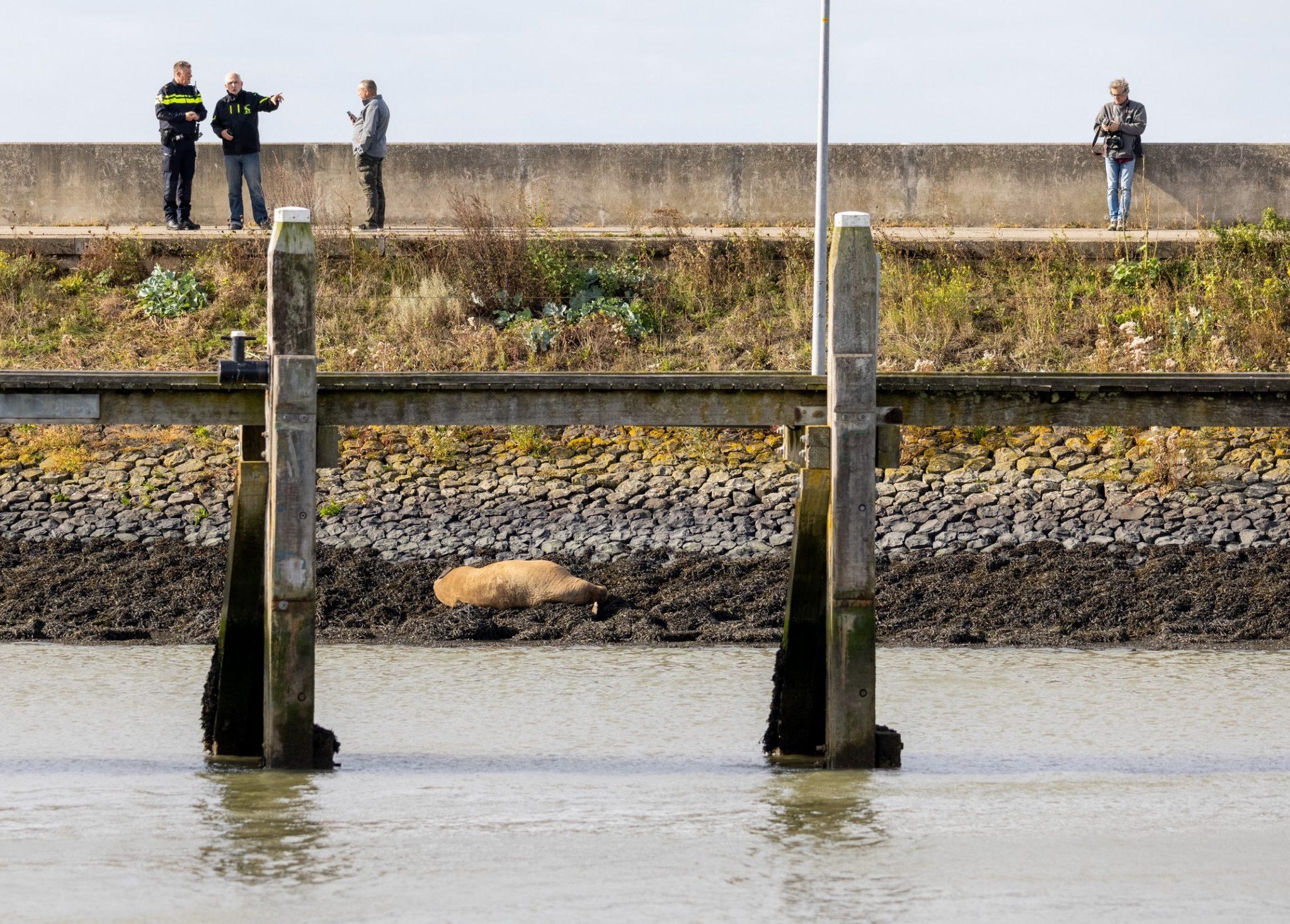De gewonde walrus trekt veel bekijks. (Foto Camjo Media)